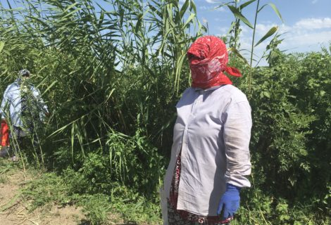 Cotton Weed Pickers Didn't Know They Were Standing in Poison